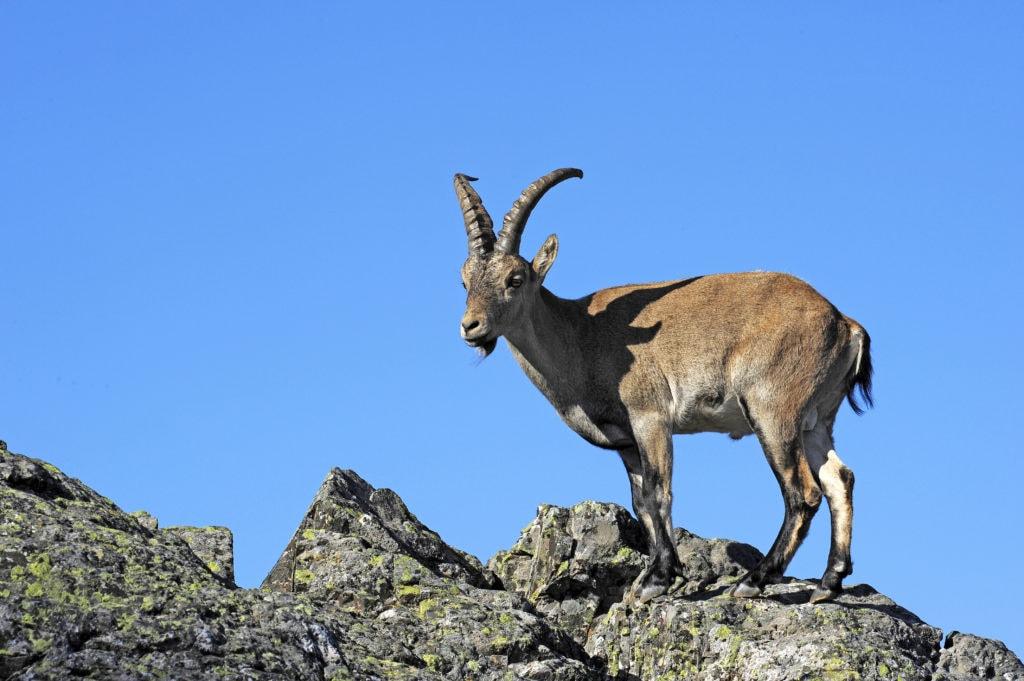 Iberiensteinbock (Capra pyrenaica) in Spanien - Iberian ibex