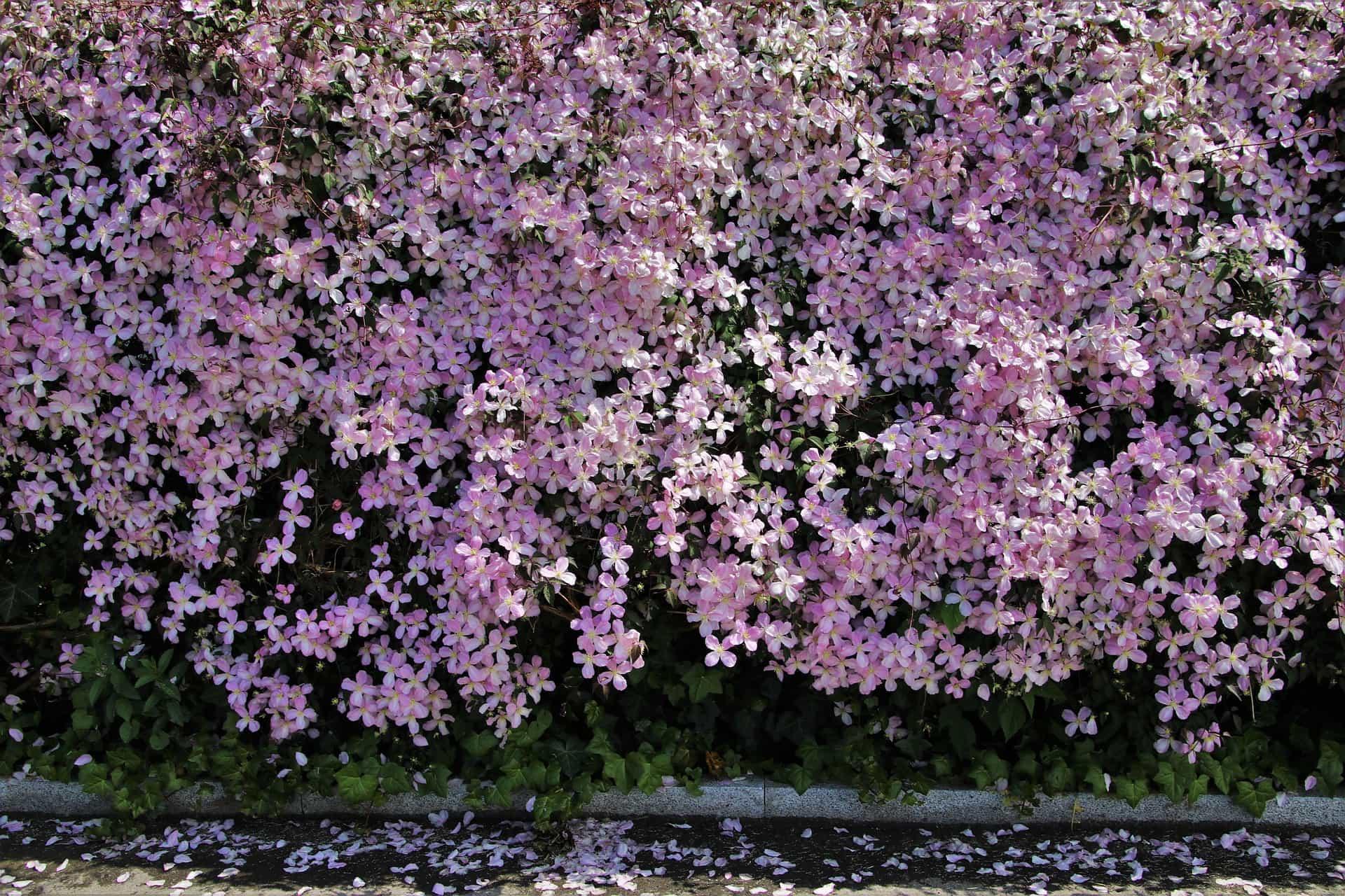 Winter Clematis Clematis urophylla