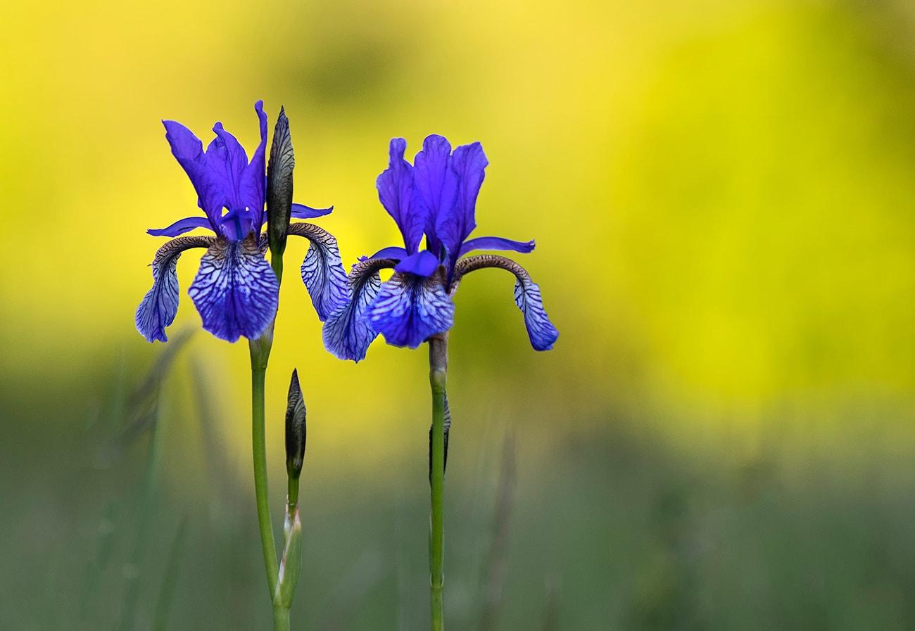 Wide-Leaved Iris Iris planifolia