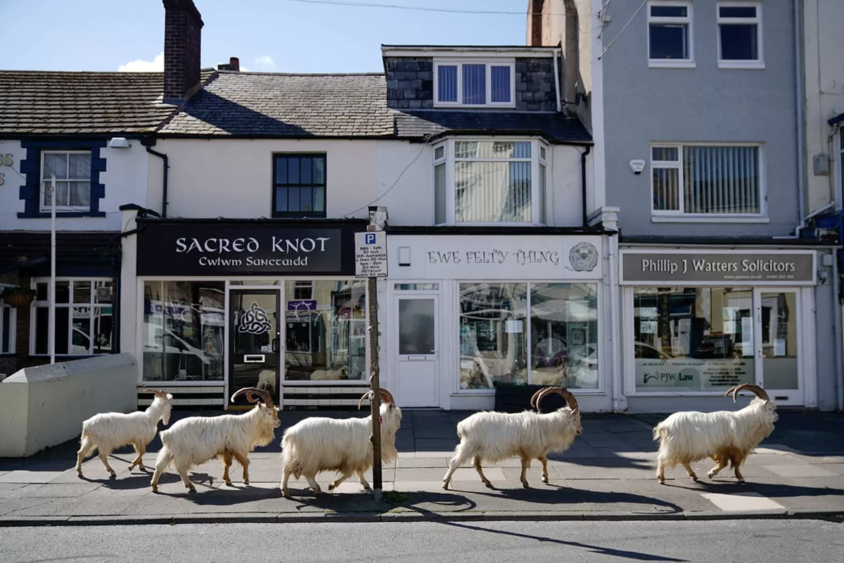 Attracted by the empty streets, mountain goats are exploring the Welsh town of Llandudno