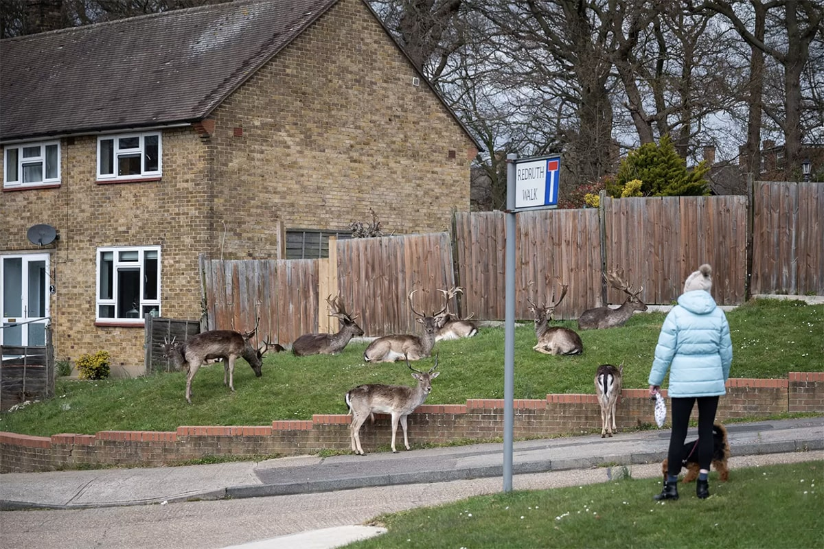 Fallow deer from Dagnam Park take the chance to graze on the tasty residential grass of East London