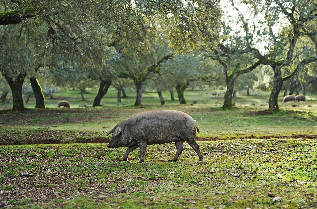 The black hoofed pig roaming free