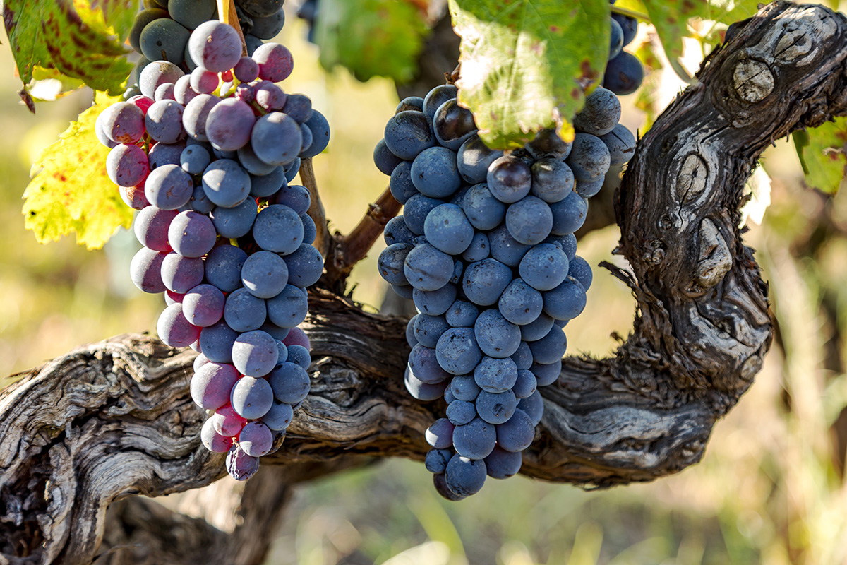Quality grapes on the vine