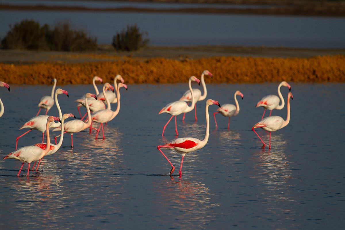 Greater flamingo (Phoenicopterus roseus) in Doñana National Park